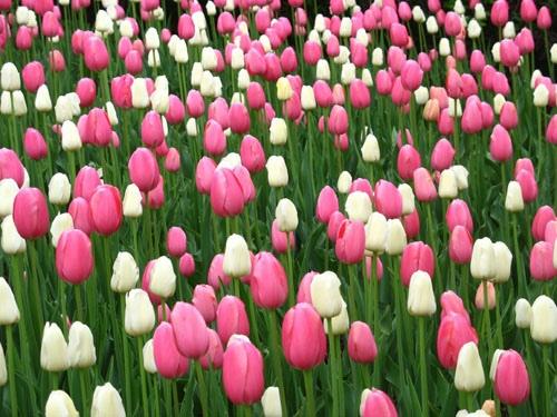 http://vnhow.vn/img/uploads/contents/desc/2010/08/cach-ve-hoa-tulip.jpg