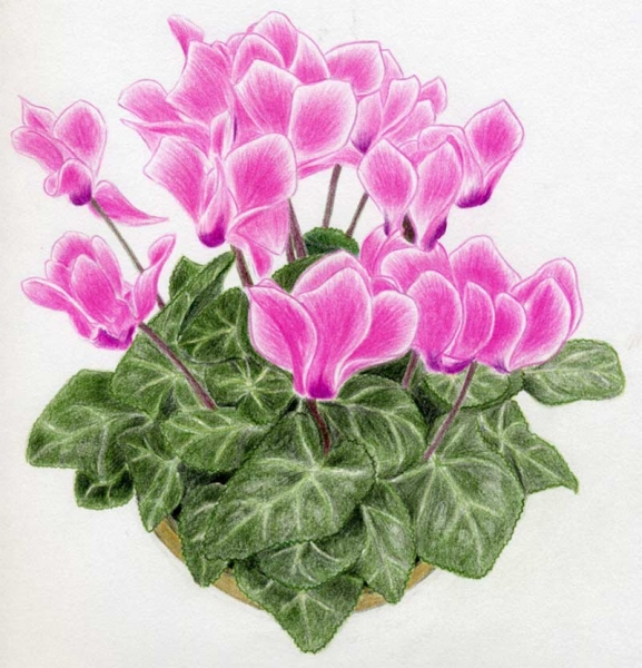 http://vnhow.vn/img/uploads/contents/desc/2011/01/cach-ve-hoa-anh-thao-cyclamen.jpg