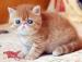 Bộ sưu tập hình mèo Ba Tư dễ thương